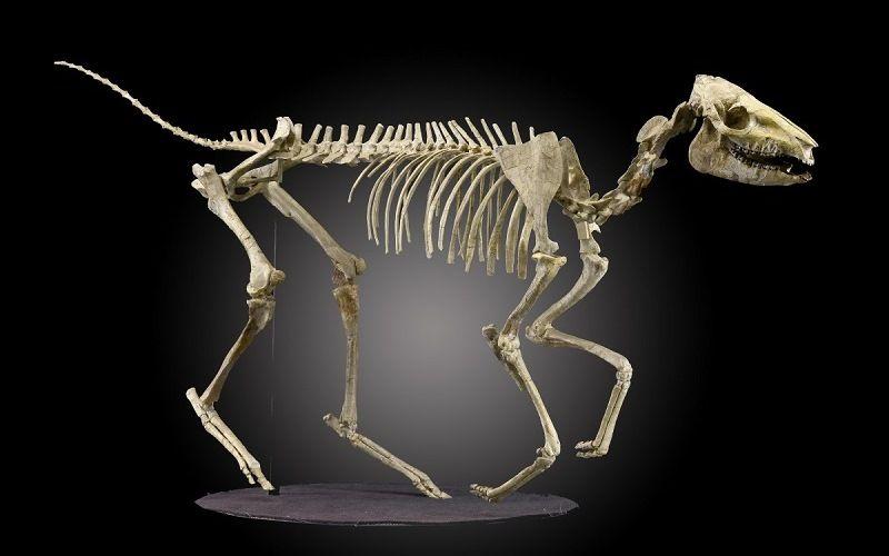 Скелет эогиппуса