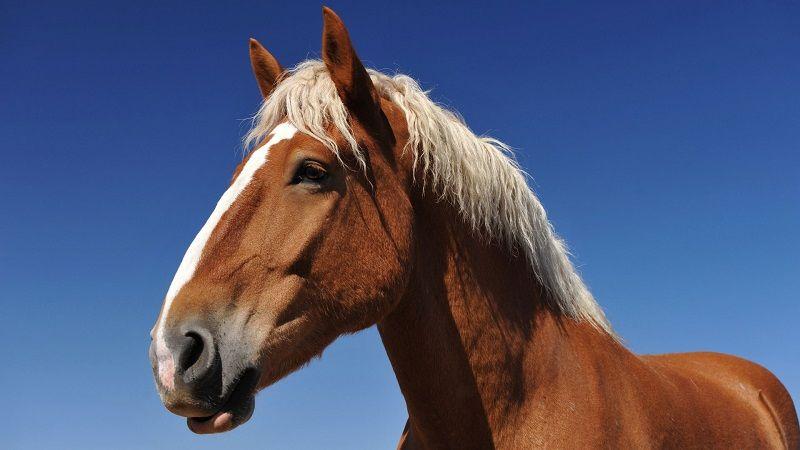 Слух лошади