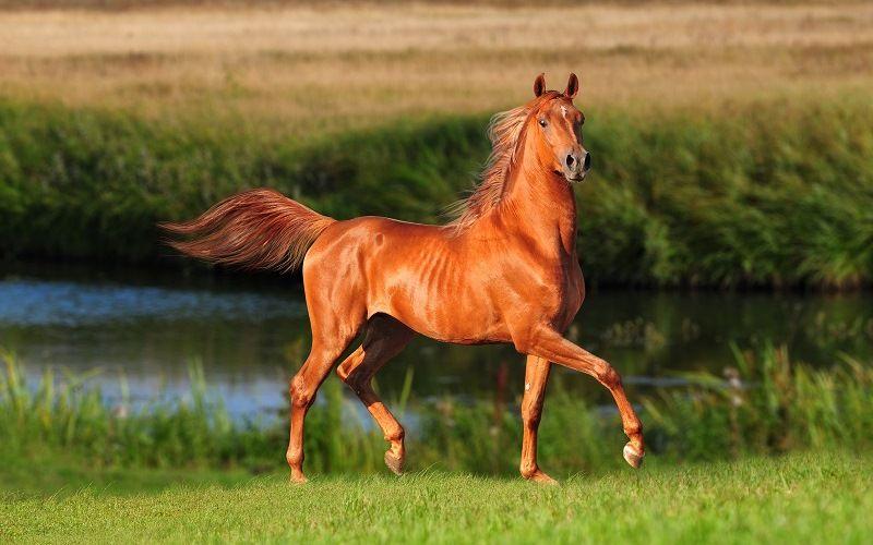 Гарцующая лошадь