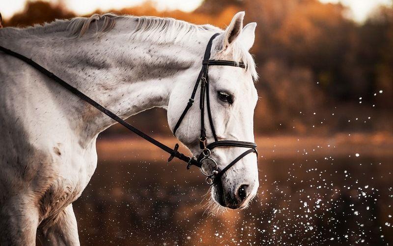 Интеллект лошади