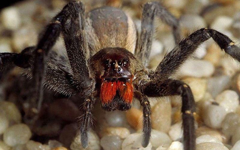 Бразильский паук-солдат