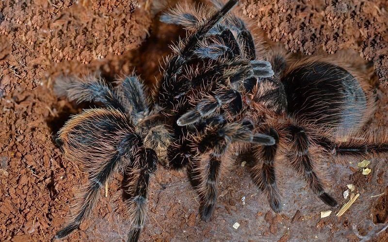 Спаривание пауков
