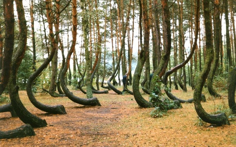 Crooked forest near the town of Gryfino in Poland