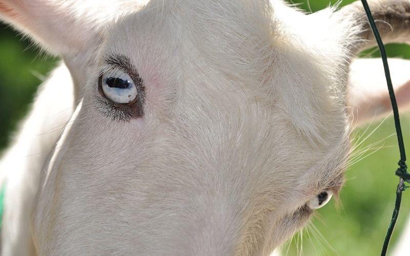 Зрение козы