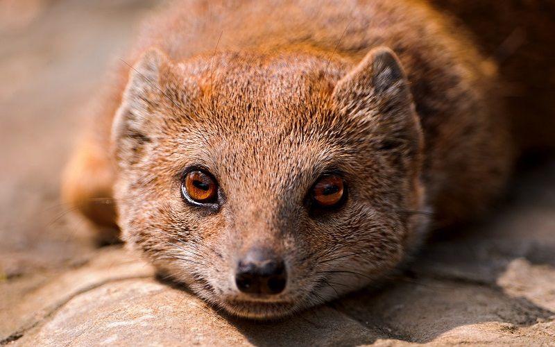 Mongoose vision