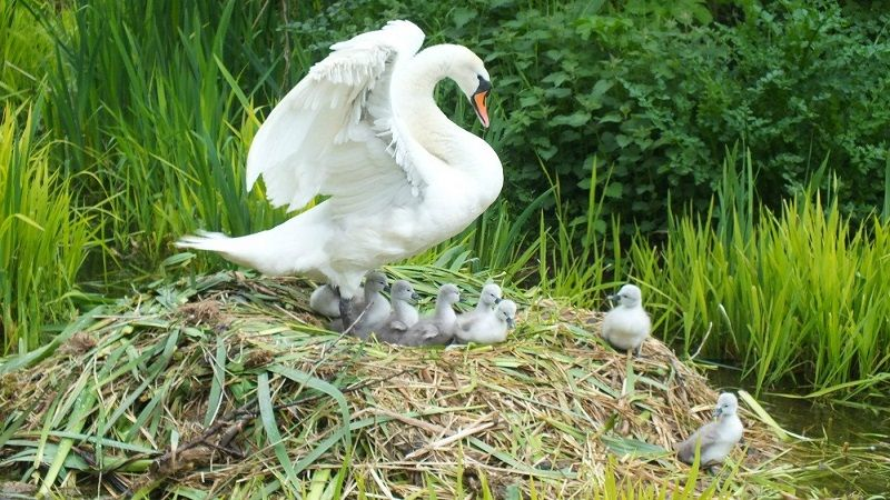 Swan offspring