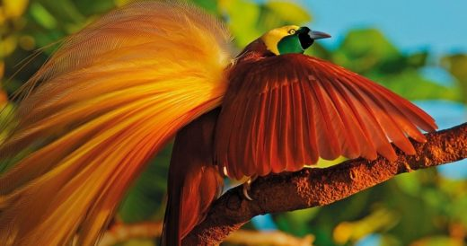 Райские птицы Австралии