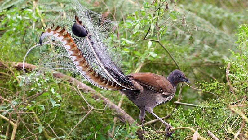 Лирохвост (птица-лира)