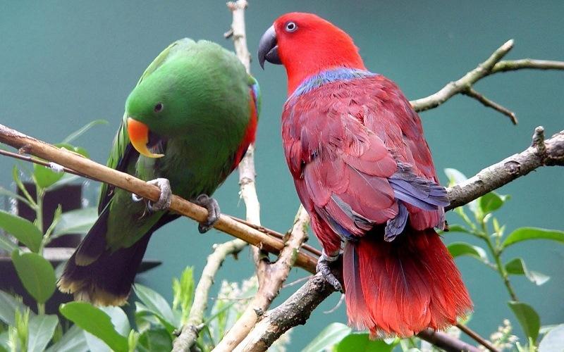 Благородный попугай (Электрус)