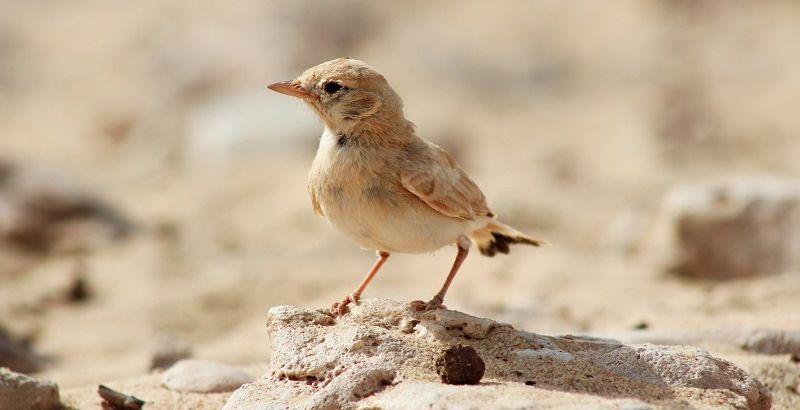 Птицы, живущие в пустыне