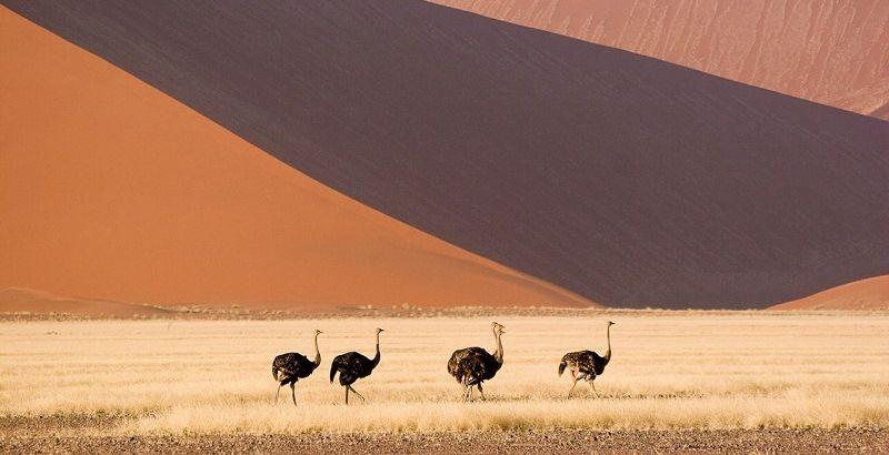 Пустынные страусы