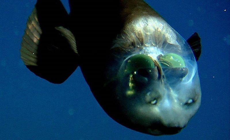 современных фото рыбы с прозрачной головой квартиры должна быть