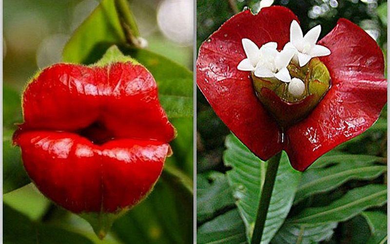 Psychotria Elata