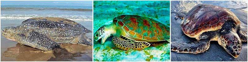 Черепахи: кожистая, зеленая, логгерхед