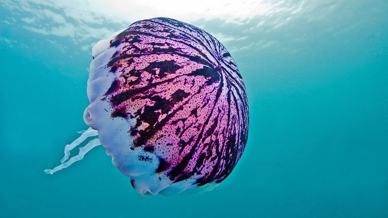 Фиолетовая полосатая медуза