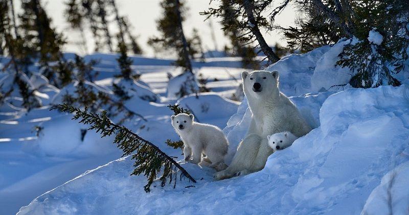 Белые медведи в Канаде