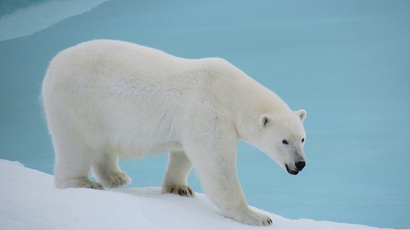 Строение белого медведя