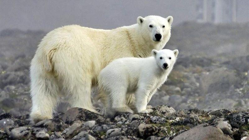 Белые медведи в дикой природе