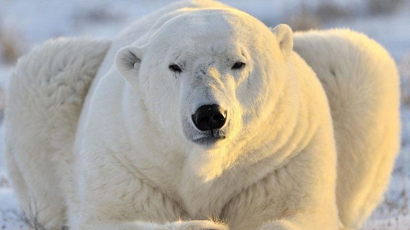 Шерсть белого медведя