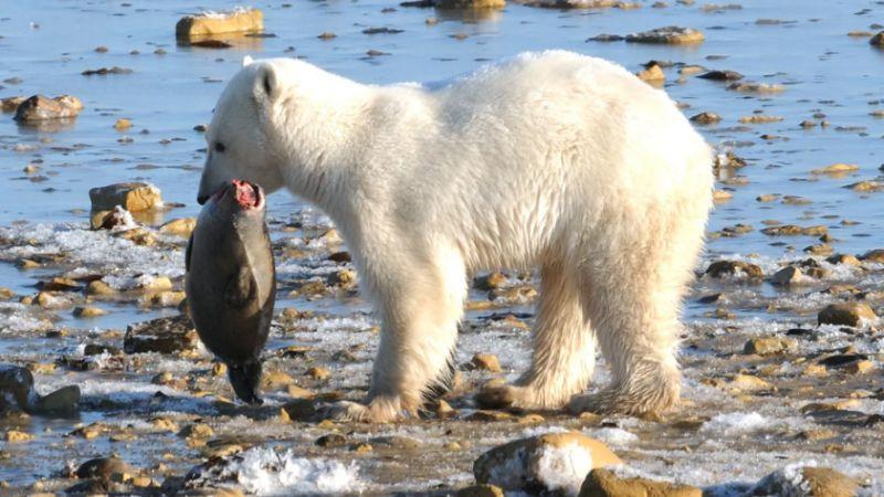 Как охотится белый медведь
