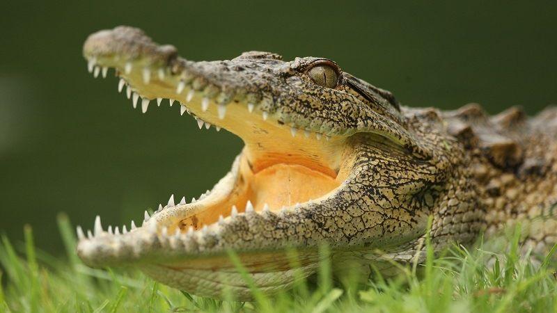 Как спят крокодилы