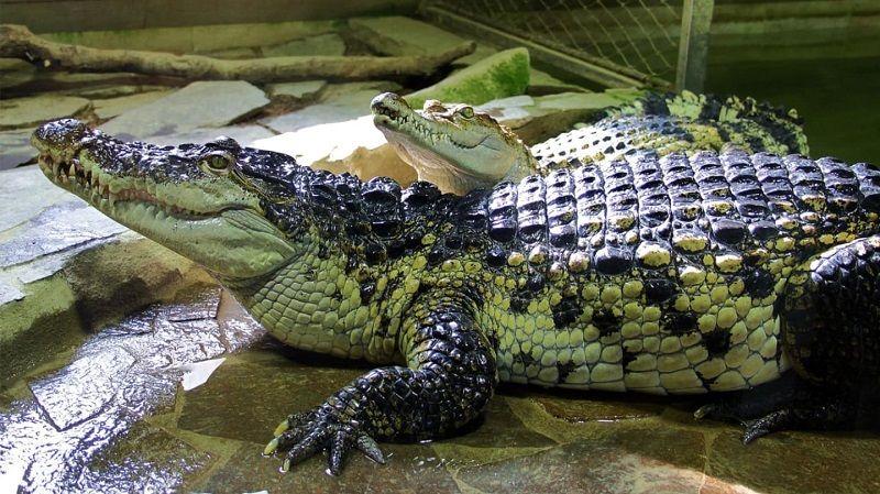 Крокодилы на охоте