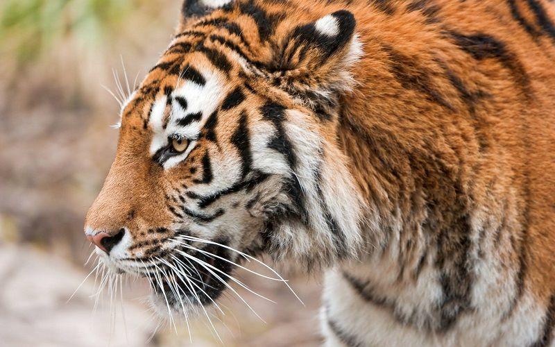 Окраска амурского тигра