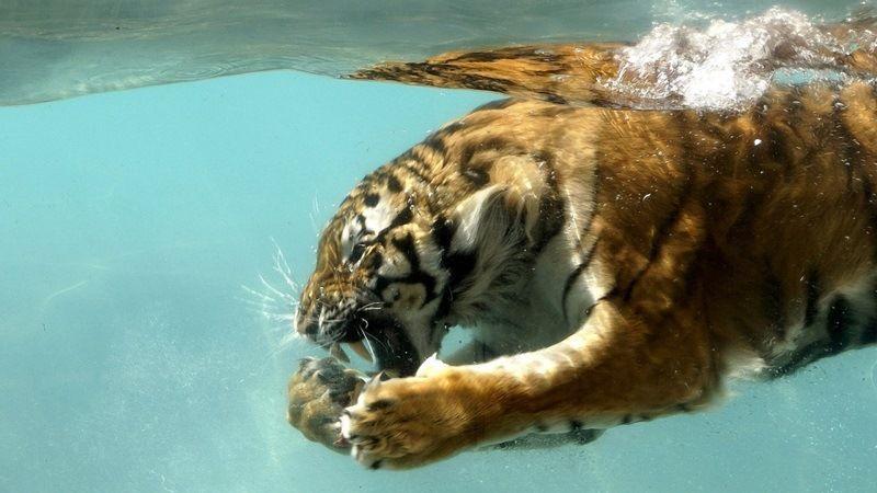Тигр под водой