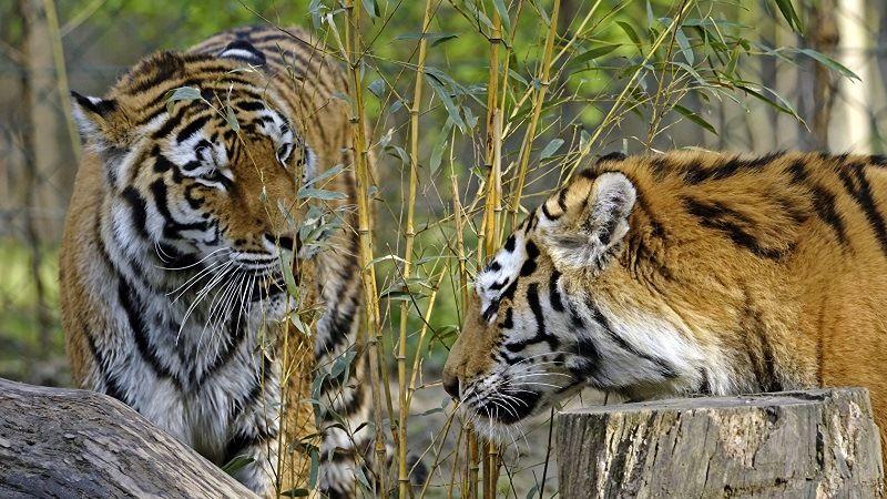 Брачный период тигров
