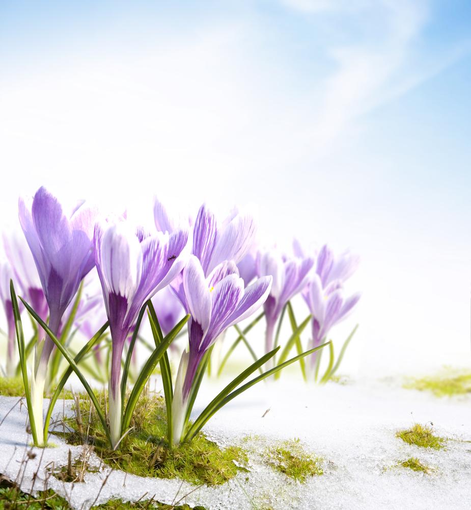 весенние цветы шафрана