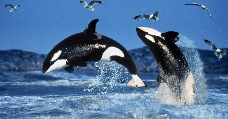 Дельфины - хищники