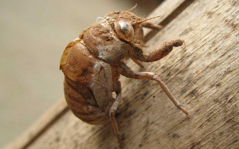 Опасный жук-убийца