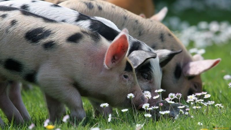 Интересное о свиньях