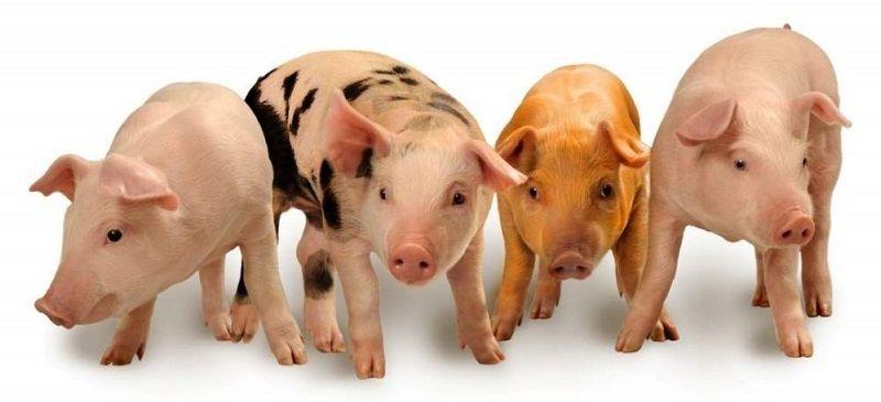 Разный окрас свиней