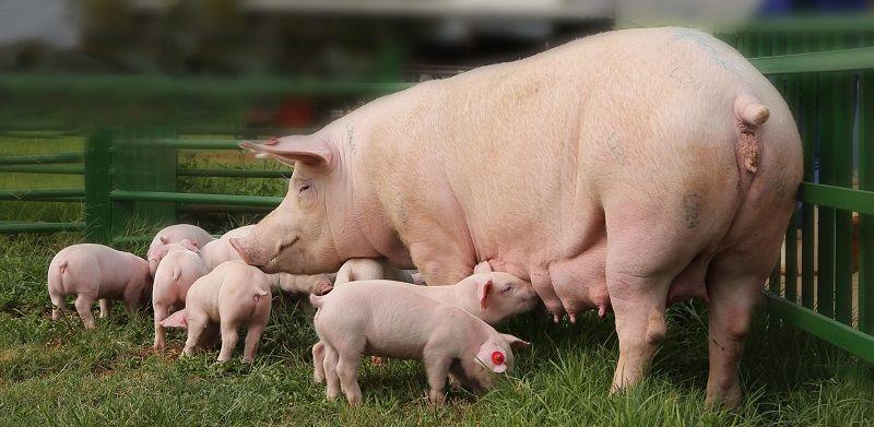 Свиноферма