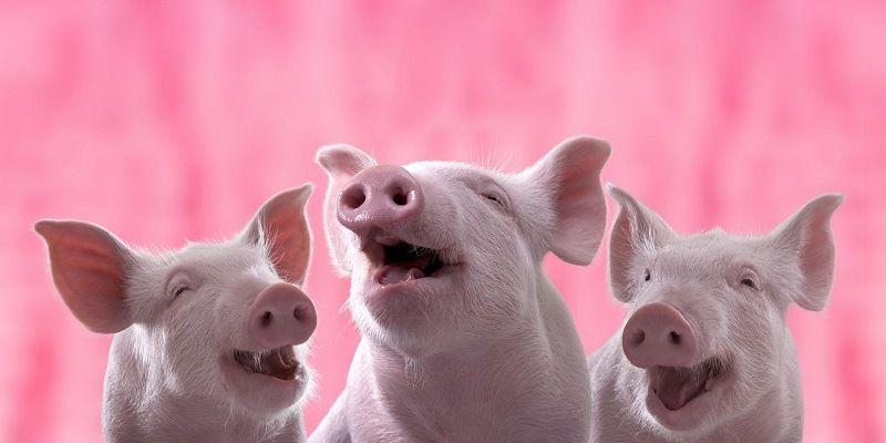 Как общаются свиньи