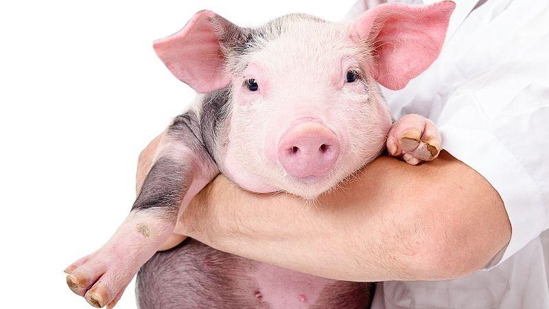 Свинки в домашних условиях