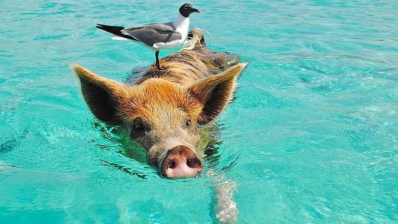 Купающиеся свиньи на Багамских островах