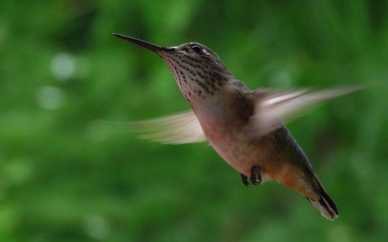 Особенности крыльев колибри