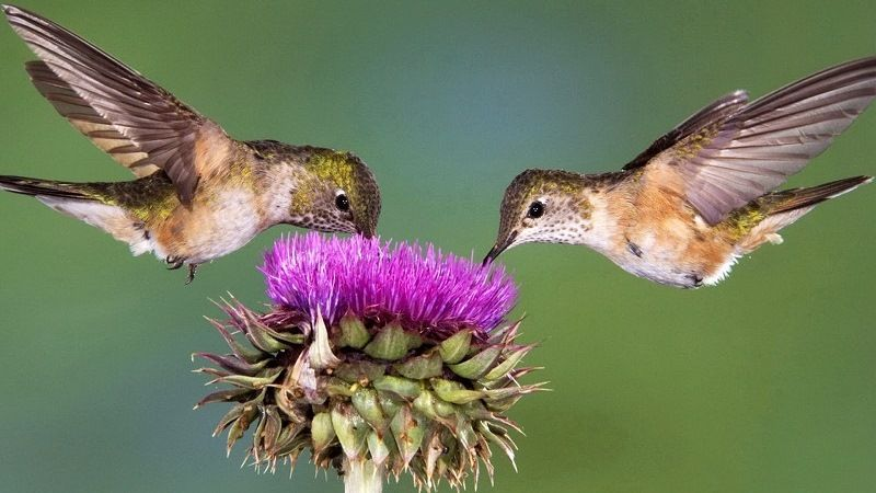 What hummingbirds eat
