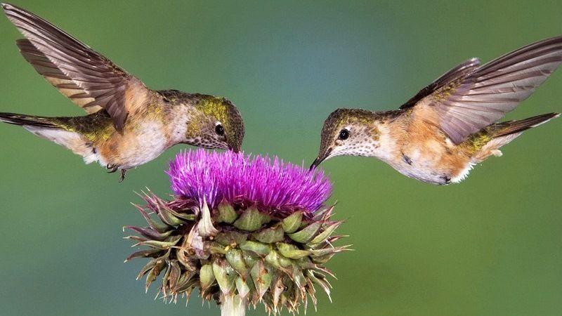 Чем питаются колибри