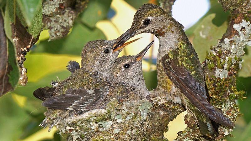 Колибри с потомством
