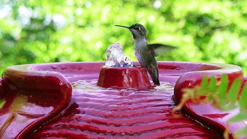 Как купается колибри