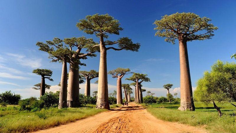 Мадагаскарский баобаб
