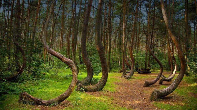 Кривые деревья в Грыфино