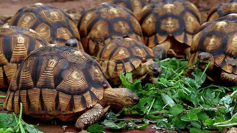 Мадагаскарская черепаха - ангонока