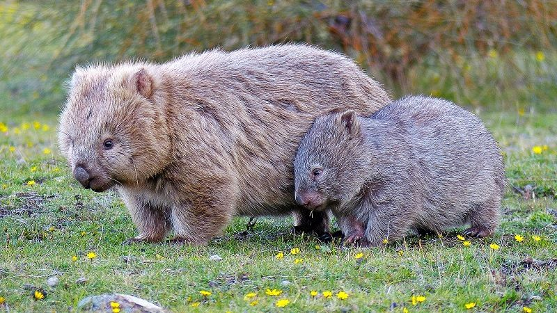 Long haired wombat