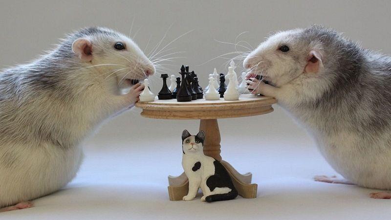 Умные крысы