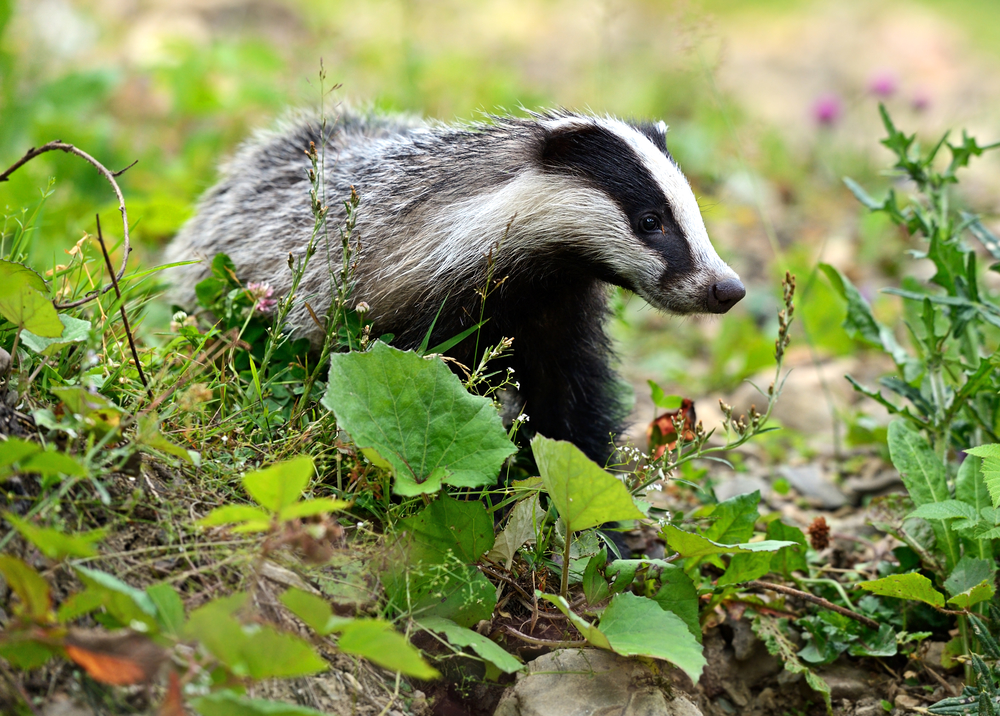 the riddle of the badger