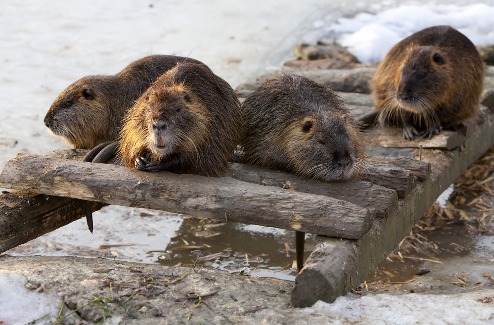 riddle of beavers